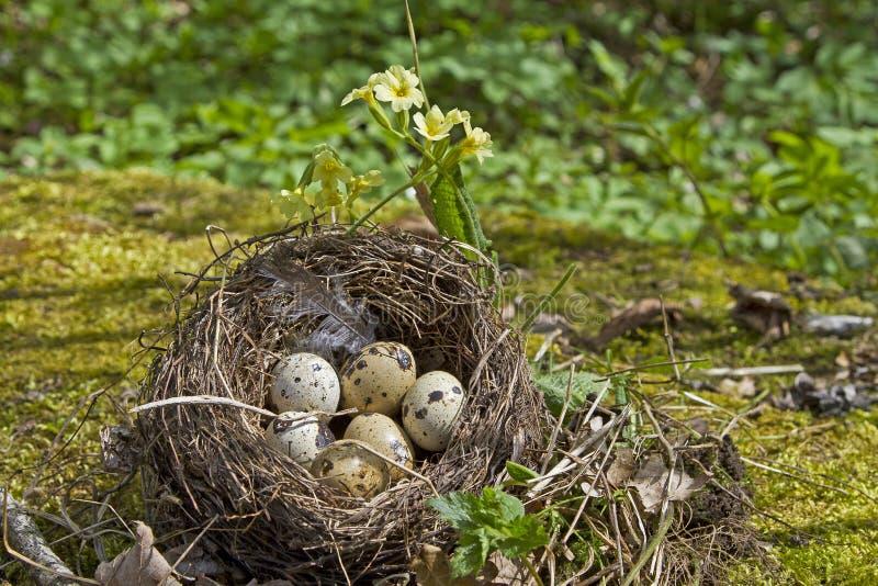 Download Ninho Dos Pássaros Com Ovos Imagem de Stock - Imagem de animal, manchado: 26506221