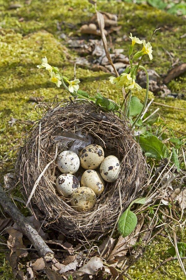 Download Ninho Dos Pássaros Com Ovos Foto de Stock - Imagem de scrim, muitos: 26506230