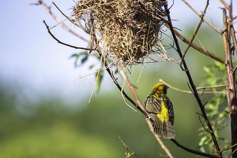 Ninho dos pássaros e do hypoxanthus dourado do pássaro ou do Ploceus do pardal nas folhas verdes do fundo dos ramos imagens de stock royalty free