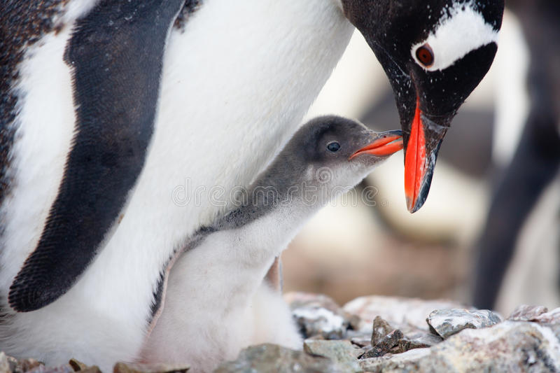 Ninho dos pinguins imagens de stock