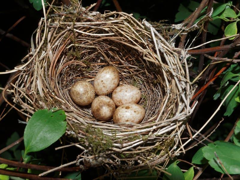 Ninho euro-asiático do blackcap com 5 ovos (atricapilla de Sylvia) foto de stock royalty free