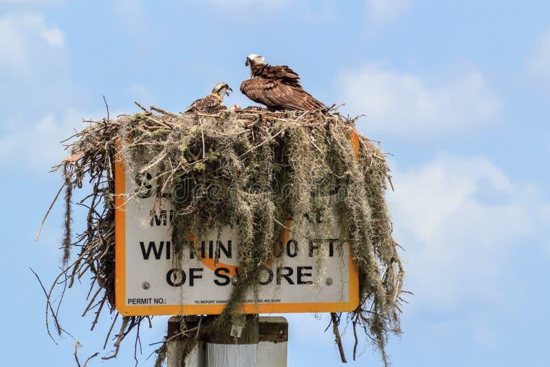 Ninho norte-americano da águia pescadora fotografia de stock royalty free