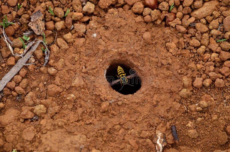 Ninho subterrâneo da vespa fotografia de stock