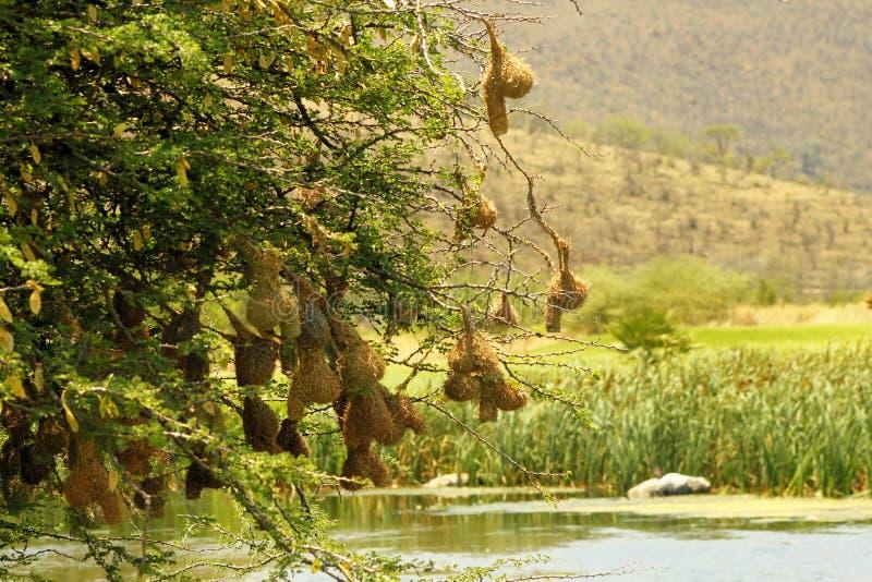 ninhos do Tecelão-pássaro sobre um rio imagem de stock