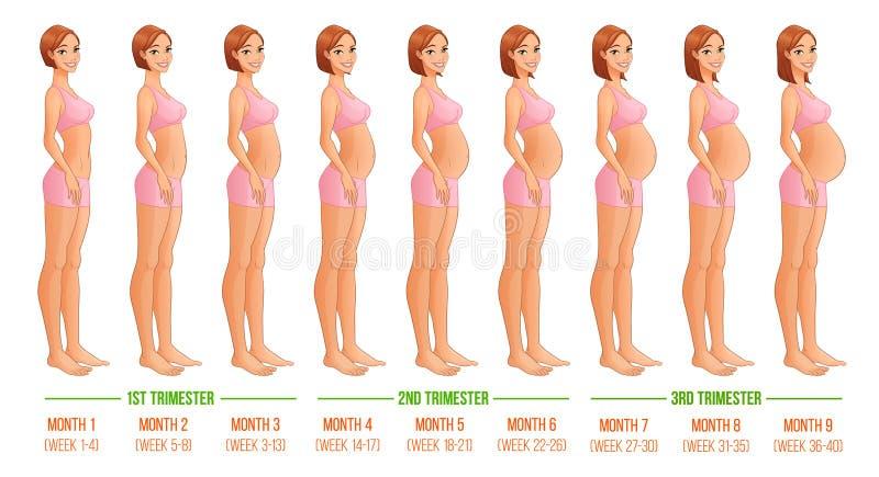 Nio månader av havandeskapfortgången royaltyfri illustrationer