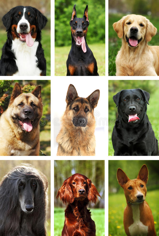 Nio populära avel av hundkapplöpning, stående natur, collage royaltyfri bild