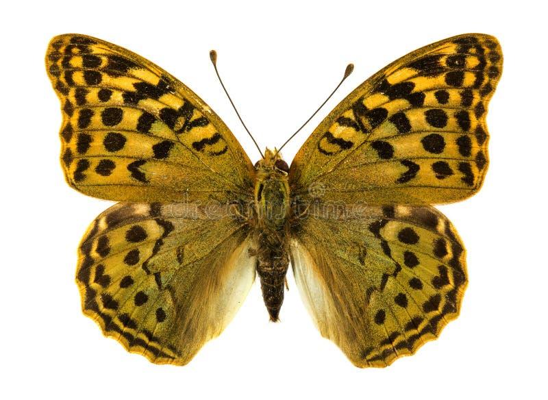 Niobe Fritillary butterfly royalty free stock photography