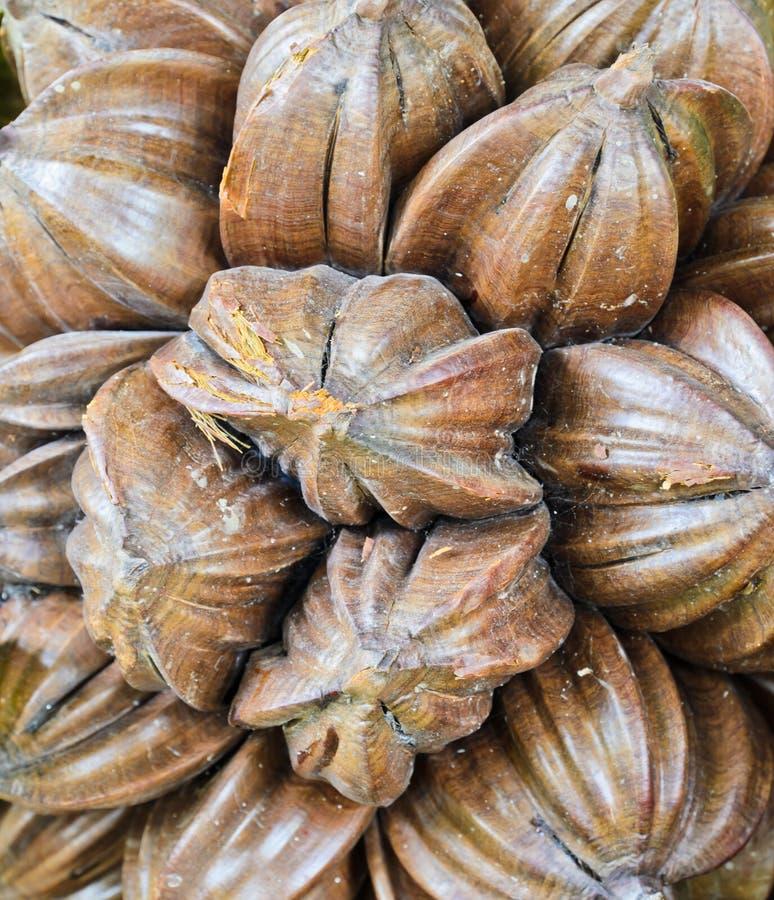 Nipa palm fruit stock image