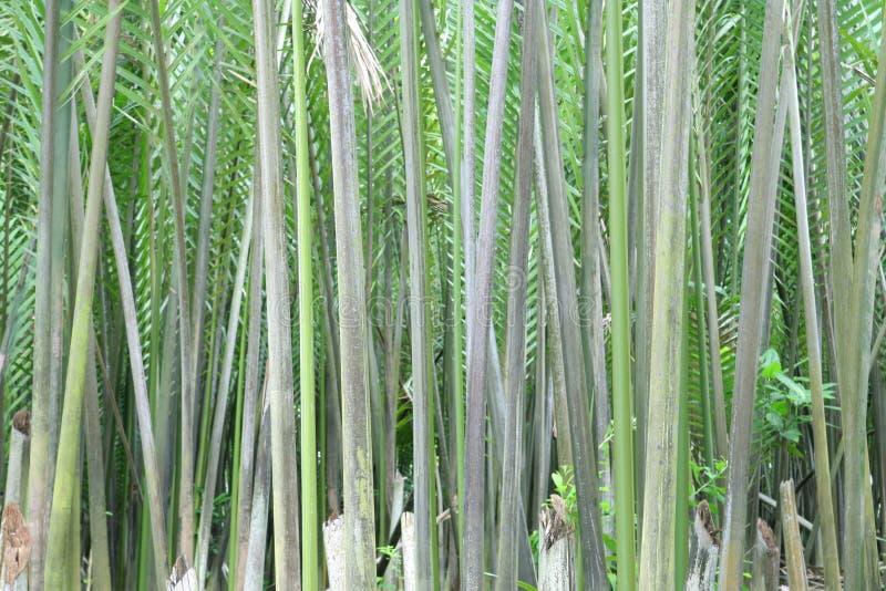 Nipah Palme oder Blatt lizenzfreie stockfotos