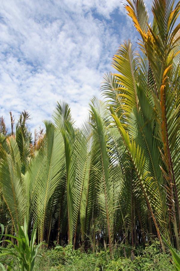 Nipah Palme oder Blatt stockfotografie