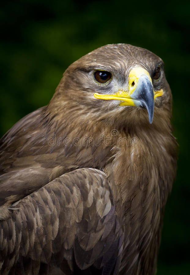 Nipalensis de Aquila da águia do estepe imagem de stock