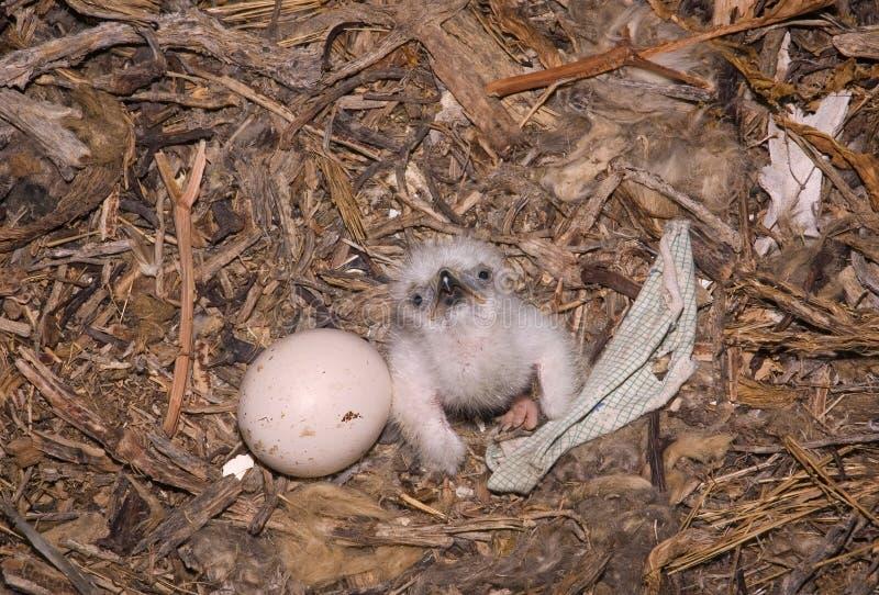 Nipalensis de Aquila da águia do estepe do Nestling foto de stock royalty free