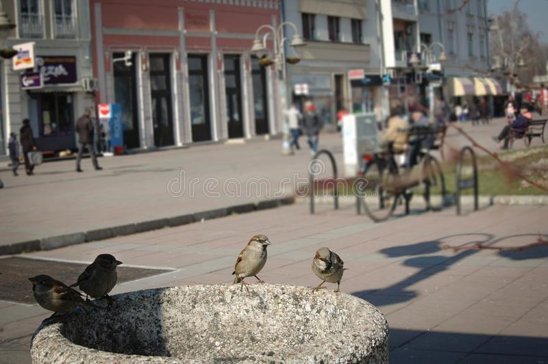 Four sparrows on stone trash can royalty free stock photography