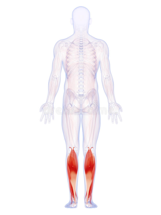 Niscy noga mięśnie ilustracja wektor