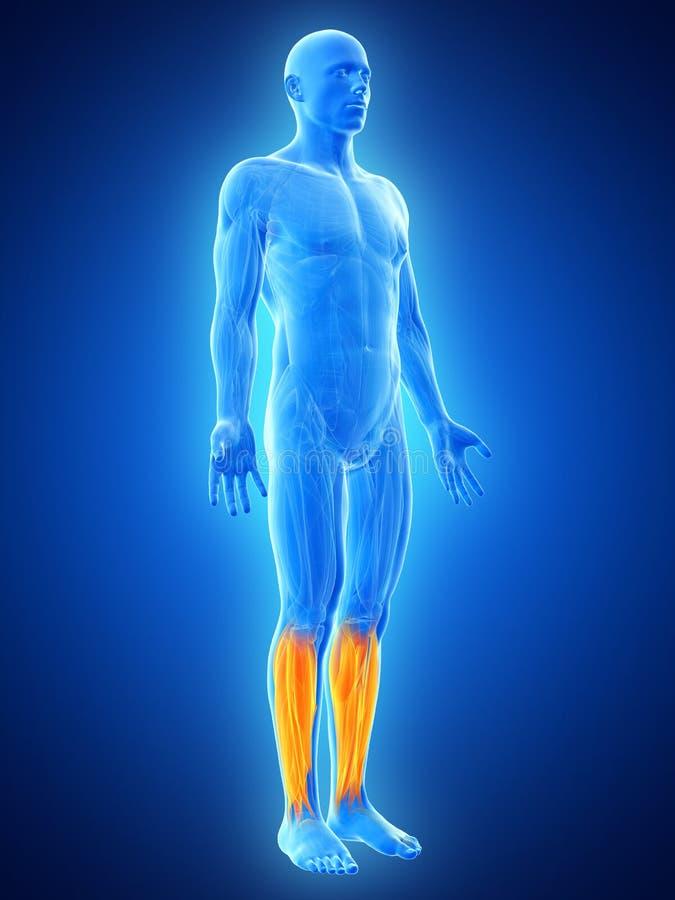 Niscy noga mięśnie ilustracji