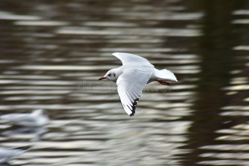 Niski Latający Seagull zdjęcia royalty free