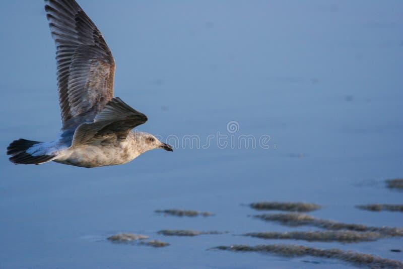 Niski Latający Seagull obraz royalty free