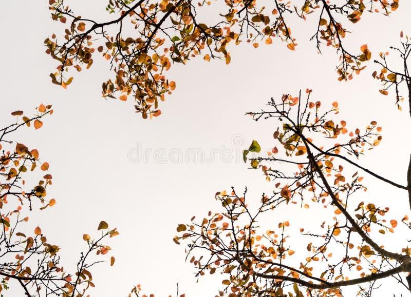Niski punkt widzenia li?cie ?wi?tej figi drzewo, Patrzeje do nieba obrazy royalty free
