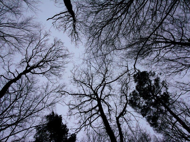 Niskiego kąta widok na deciduous i sosny korony sylwetkach ogołaca fotografia stock