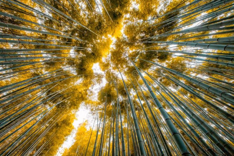 Niskiego kąta widoku złotych liści gaju bambusowy las zdjęcia stock