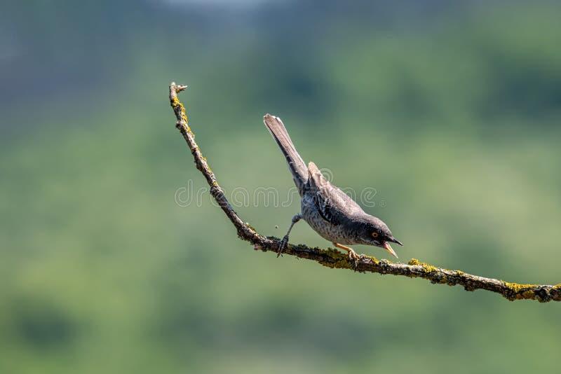 Nisoria barrado de Sylvia da toutinegra no ramo de ?rvore fotografia de stock