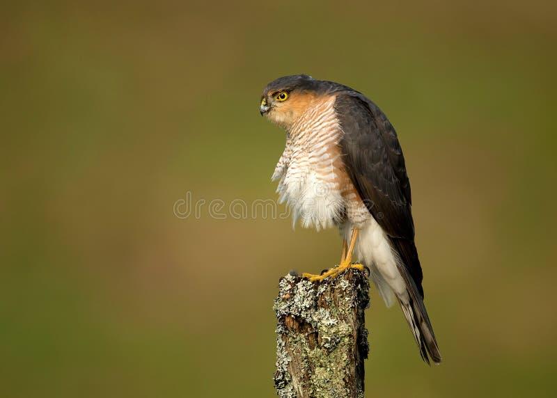 Nisus adulte d'Accipiter de Sparrowhawk d'Eurasien photo stock