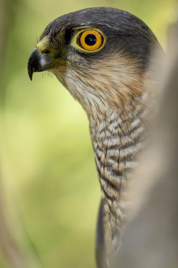 Nisus del Accipiter de Sparrowhawk del eurasiático ocultado entre la vegetación forestal fotos de archivo