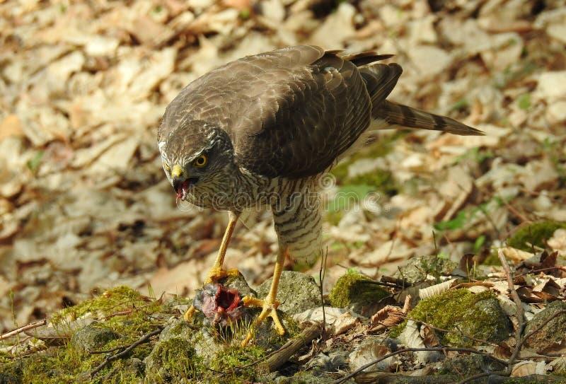 Nisus eurasiático del Accipiter del sparrowhawk foto de archivo libre de regalías