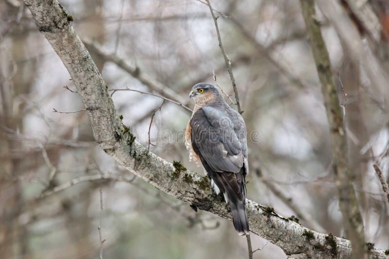 Nisus eurasiático del accipiter del sparrowhawk que se sienta en rama imagen de archivo