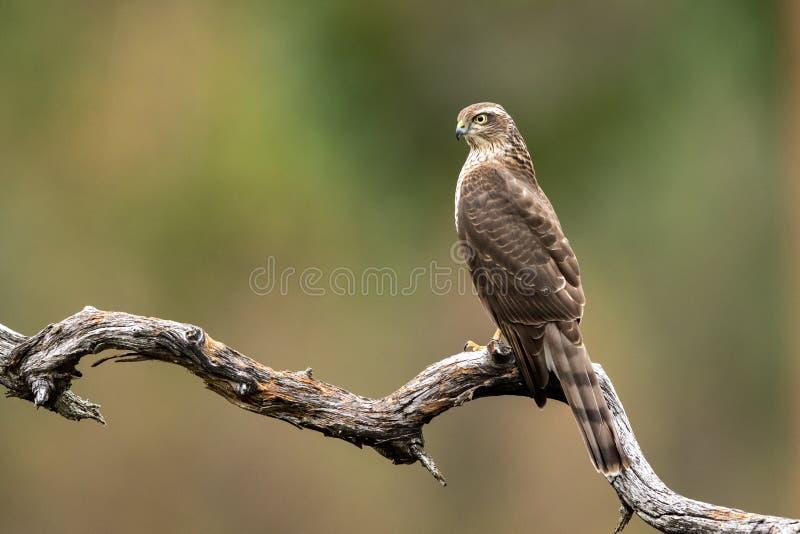 Nisus femenino del Accipiter del halcón de gorrión que se sienta en una rama curvada foto de archivo libre de regalías