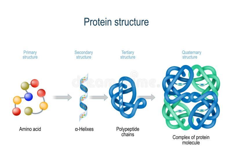 Nivåer av proteinstrukturen från amino syror till komplexet av proteinmolekylen vektor illustrationer