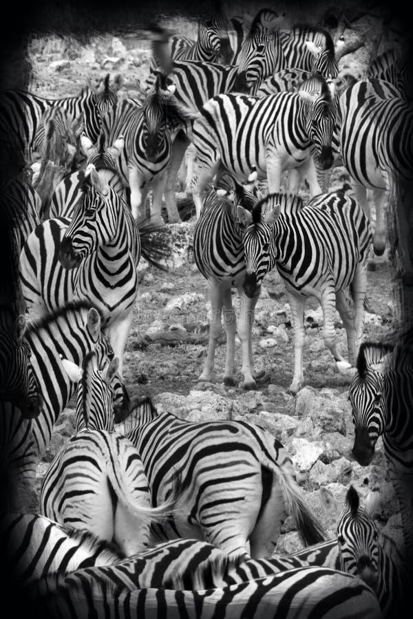 Nivåsebra - den Etosha nationalparken - Namibia royaltyfri fotografi
