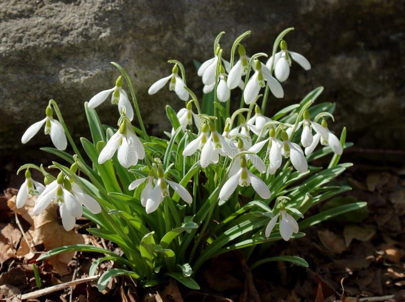 Nivalis comuni di Galanthus di bucaneve che fioriscono in primavera fotografie stock libere da diritti