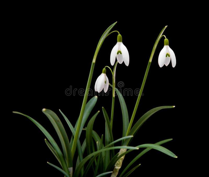 Nivalis de Galanthus fotos de stock royalty free