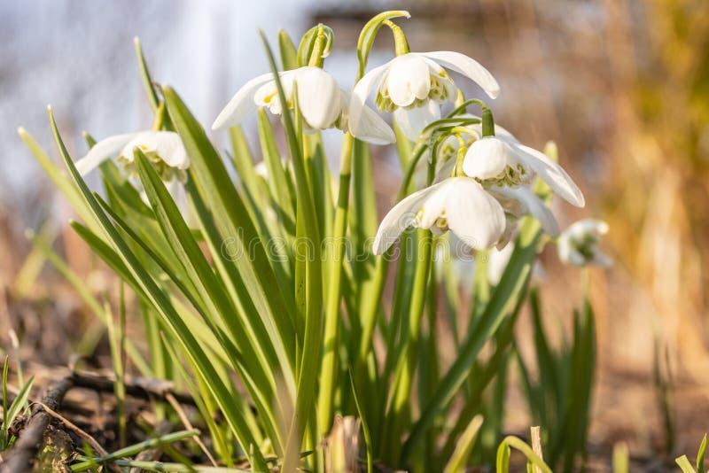 Nivalis de Galanthus en el jard?n Flores de la primavera de Snowdrop Fondo de la textura de la flor de Snowdrop Modelo floral Sno imagen de archivo