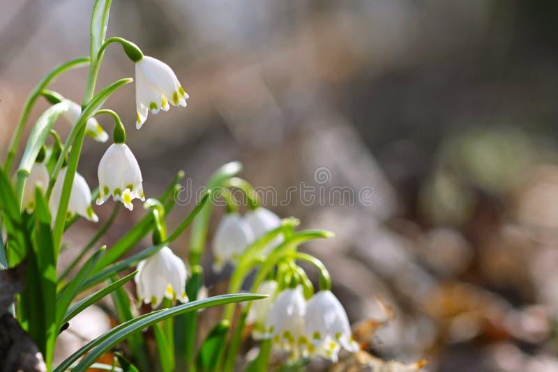 Nivalis L van Galanthus van het sneeuwklokjesneeuwklokje 3 royalty-vrije stock foto's