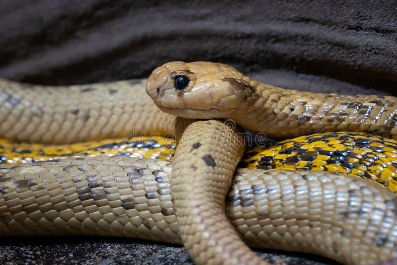 Nivea zeer gevaarlijke slang van Naja van de kaapcobra royalty-vrije stock foto's
