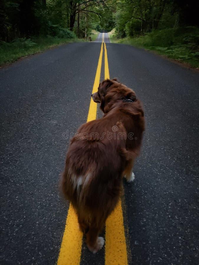 nivelando a caminhada com o cão-pastor australiano na estrada fotos de stock