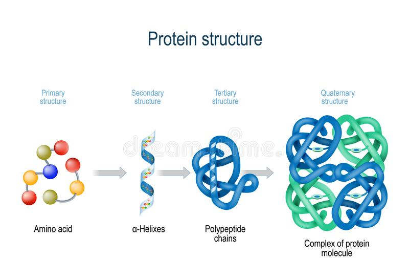 Niveles de estructura de la proteína de los aminoácidos al complejo de la molécula de proteína ilustración del vector