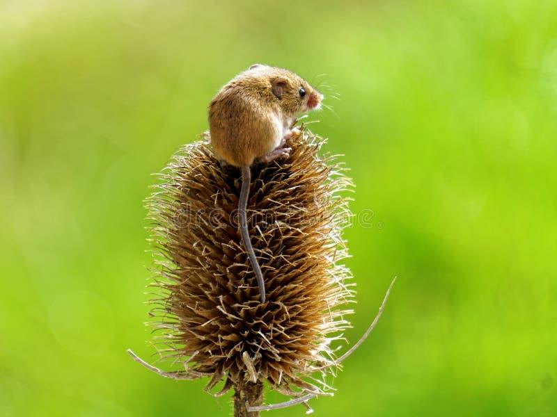 Żniwo mysz obraz stock
