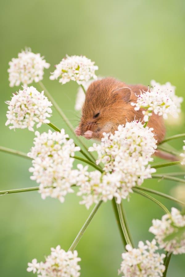 Żniwo myszy cleaning zdjęcie royalty free