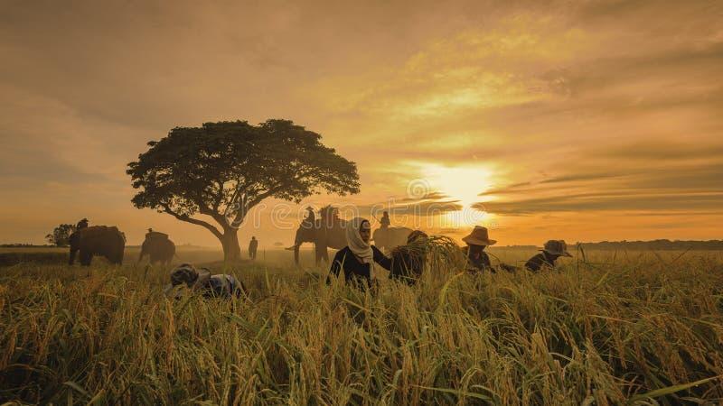 Żniwo ryż pole obraz royalty free