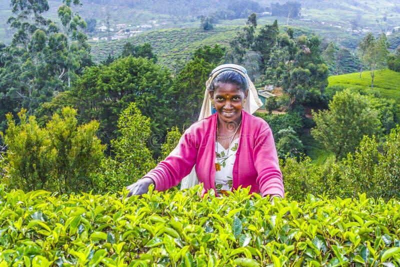 Żniwo w herbacianych polach, herbata fotografia stock