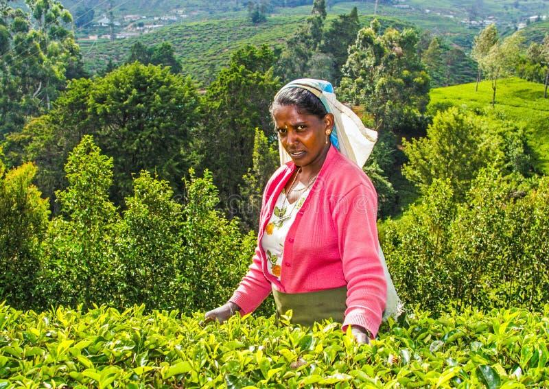 Żniwo w herbacianych polach, herbata obraz stock