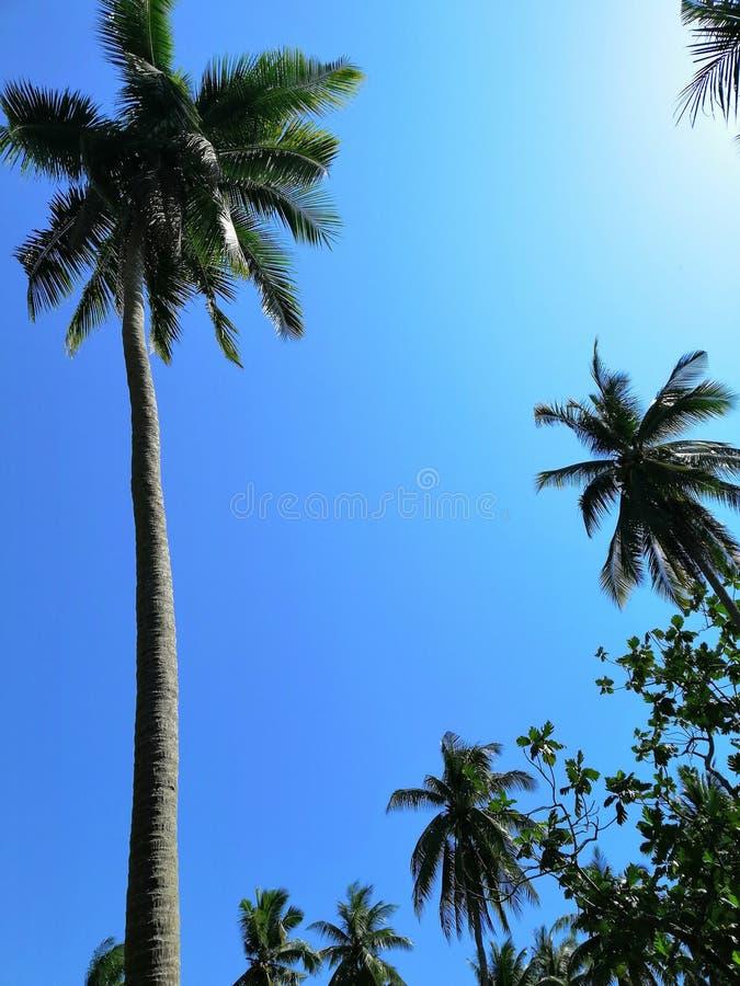 Niyog & x28; Coconut& x29; fotografia stock