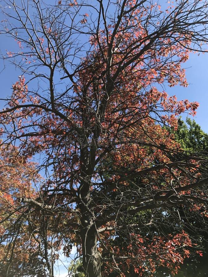 Nizza roter Autumn Tree stockfoto