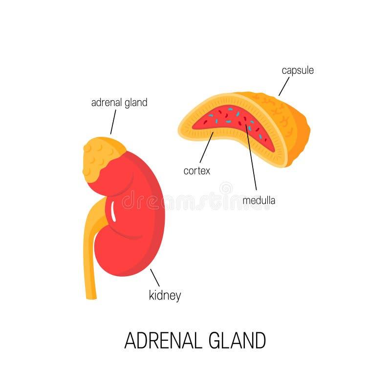 Njure och tvärsnitt av den binjur- körteln i plan stil vektor illustrationer