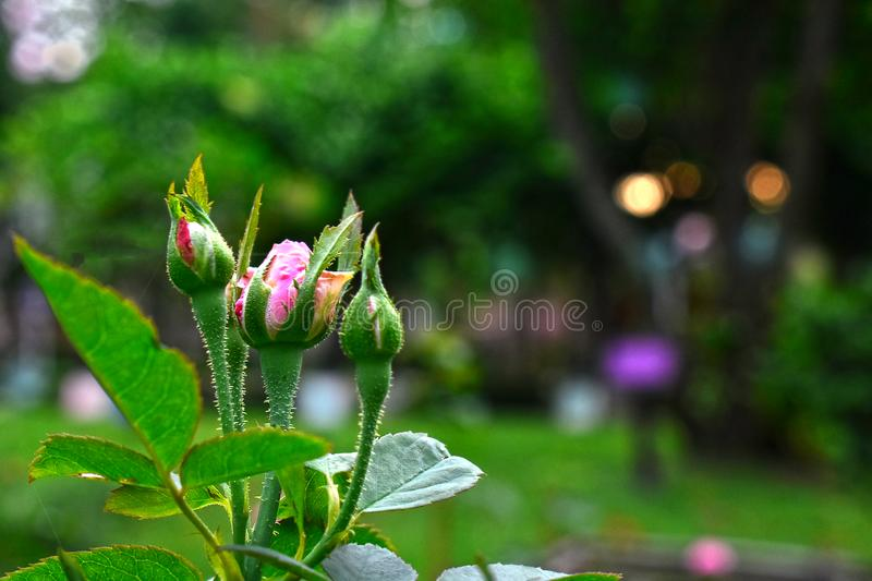 Natural pink roses In the garden is very beautiful, looks refreshing. royalty free stock image
