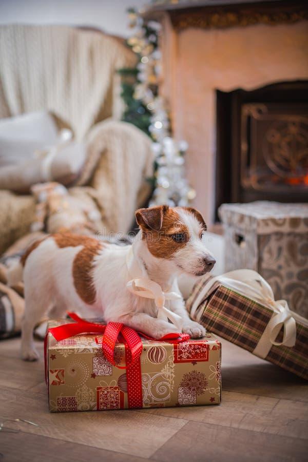 Noël de chien, nouvelle année, Jack Russell Terrier photo libre de droits