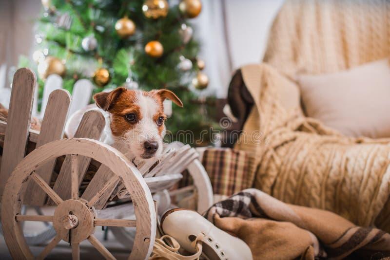 Noël de chien, nouvelle année, Jack Russell Terrier images libres de droits